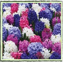 Mixed Fragrant Hyacinth